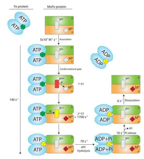 PNAS: Electron transfer precedes ATP hydrolysis during nitrogenase catalysis | Plant Gene Seeker -PGS | Scoop.it
