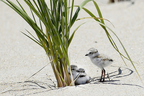 The 1 Percent Versus a Tiny Endangered Seabird | animals and prosocial capacities | Scoop.it