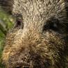 Wild Boar in the UK