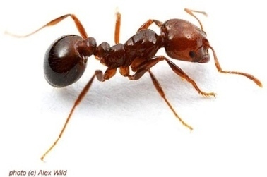State steps in to stomp out fire ants - Local - Gaston Gazette | North Carolina Agriculture | Scoop.it