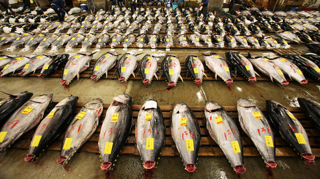 Should Pacific Bluefin Tuna Be Listed As An Endangered Species? | email | Scoop.it