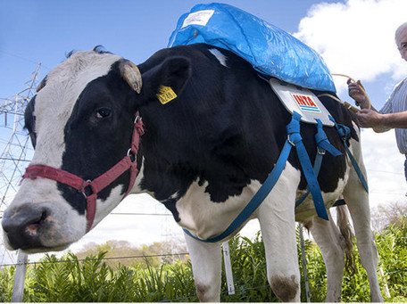 """Methane Backpacks"" Turn Cow Farts into Green Energy 