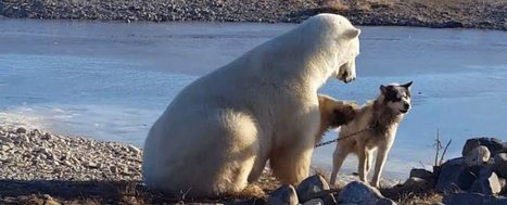 Sorry to Ruin Your Dreams, but That Dog-Petting Polar Bear Just Ate a Husky Alive | Teacher Tools and Tips | Scoop.it