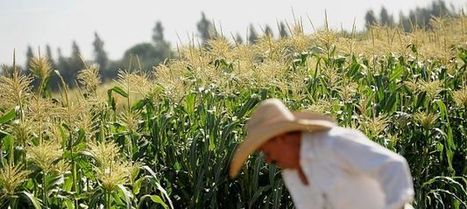 GMO experiments receive questionable oversight   GMOs   Scoop.it