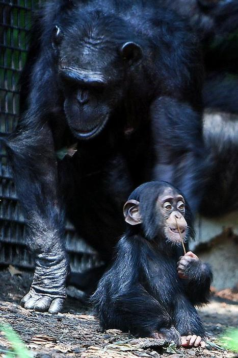 Chimp Eggs Die Off Later than Humans Eggs — Even Though Humans Live Longer | Amazing Science | Scoop.it