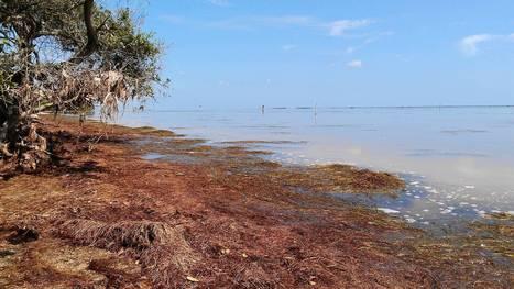 Indian River Lagoon algae: Harmful algae devastate Indian River Lagoon | everett ce marine biology | Scoop.it