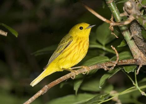Birding Is Fun!: An Extraordinary Journey: The Story of Blackpoll Warbler #2400-42807 | Birds and Birding | Scoop.it