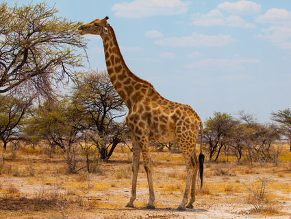 Giraffes may be headed for extinction - Salon | The Wild Planet | Scoop.it