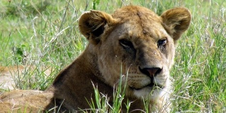 The Serengeti Lion Project Goes Online With The Help of Crowdfunding | #SciFund | Scoop.it