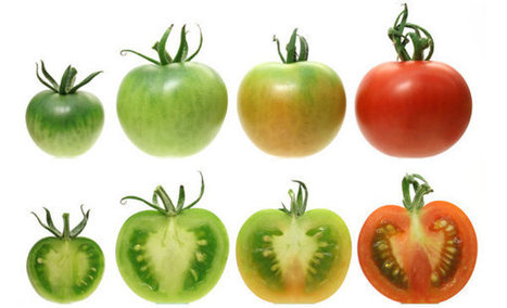 Flavor Is the Price of Tomatoes' Scarlet Hue, Geneticists Say | @FoodMeditations Time | Scoop.it