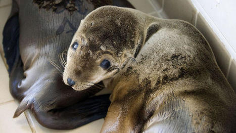 Starvation, Not Radiation Likely Affecting Calif. Sea Lion Pups | Sustain Our Earth | Scoop.it