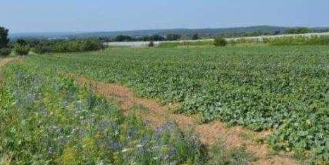 Des bandes fleuries pour la régulation naturelle des pucerons | Chimie verte et agroécologie | Scoop.it