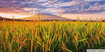 Busting the myths about GMOs in agriculture | Climate Smart Agriculture | Scoop.it