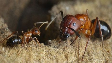 Someday Scientists Could Reprogram Carpenter Ants To Do Our Bidding | All About Ants | Scoop.it