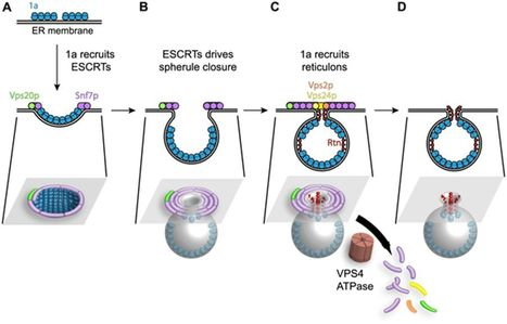 Host ESCRT Proteins Are Required for Bromovirus RNA Replication Compartment Assembly and Function | Amazing Science | Scoop.it