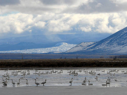 Intense Drought a Big Problem for Lower Klamath NWR | Wildlife | Scoop.it