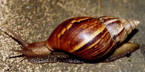 Un escargot géant sème la panique en Floride | Toxique, soyons vigilant ! | Scoop.it