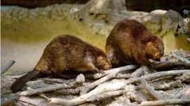 Argentina plans to cull 100,000 beavers in Tierra del Fuego - BBC News | Upsetment | Scoop.it