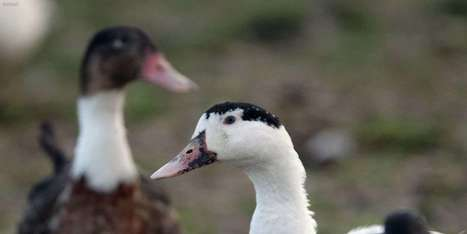 Grippe aviaire: 19 foyers dans le Sud-Ouest, 13 pays européens touchés | Agriculture en Dordogne | Scoop.it