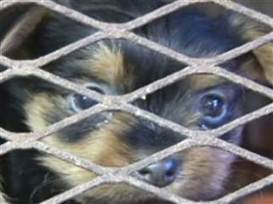 AKC-registered breeders raising dogs in 'miserable' conditions - TODAY.com   Gov & Law - Lauren Timm   Scoop.it