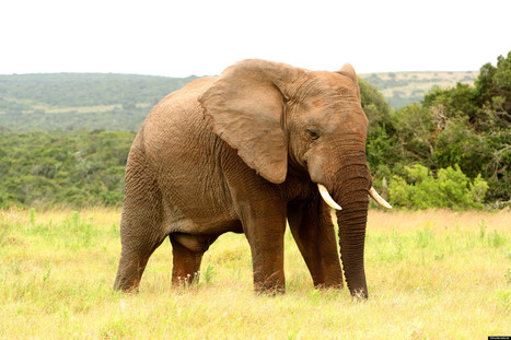 Elephant Gets Ultimate Revenge On Poacher | Conservation, Ecology, Environment and Green News | Scoop.it