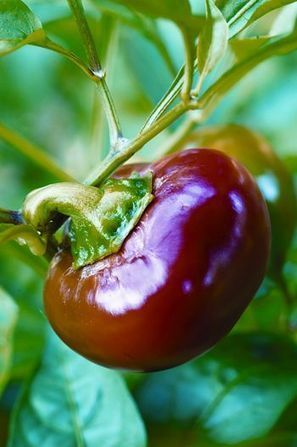 Heirloom Seeds and Plants | Aquaponics~Aquaculture~Fish~Food | Scoop.it