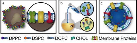 Nanoscale Trojan horses treat inflammation | Scientific Innovations in Biology | Scoop.it