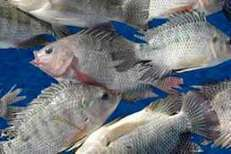 Tilapia from Farm to Plate using US soy - All about feed | Aquaculture Products & Marketing Network | Scoop.it