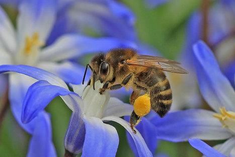 Abeilles sauvages, abeilles domestiques: quelle cohabitation en ville? | EntomoNews | Scoop.it