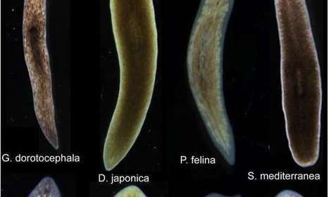 Biologists induce flatworms to grow heads and brains of other species | leapmind | Scoop.it