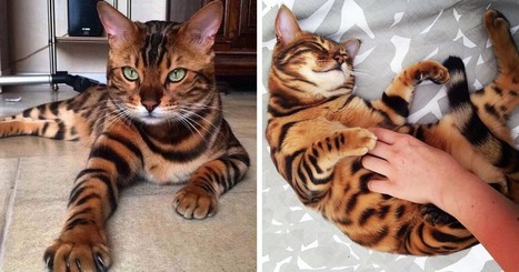 Meet Thor, The Bengal Cat With Purrfectly Beautiful Fur | Food for Pets | Scoop.it