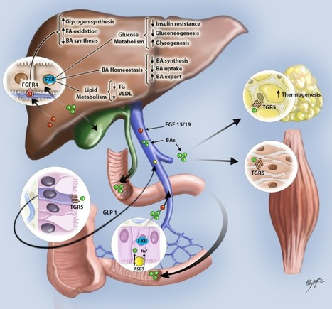Bile acids and nonalcoholic fatty liver disease: Molecular insights and therapeutic perspectives | Hepatitis C New Drugs Review | Scoop.it