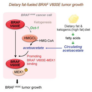 Prevention of Dietary-Fat-Fueled Ketogenesis Attenuates BRAF V600E Tumor Growth | Melanoma BRAF Inhibitors Review | Scoop.it