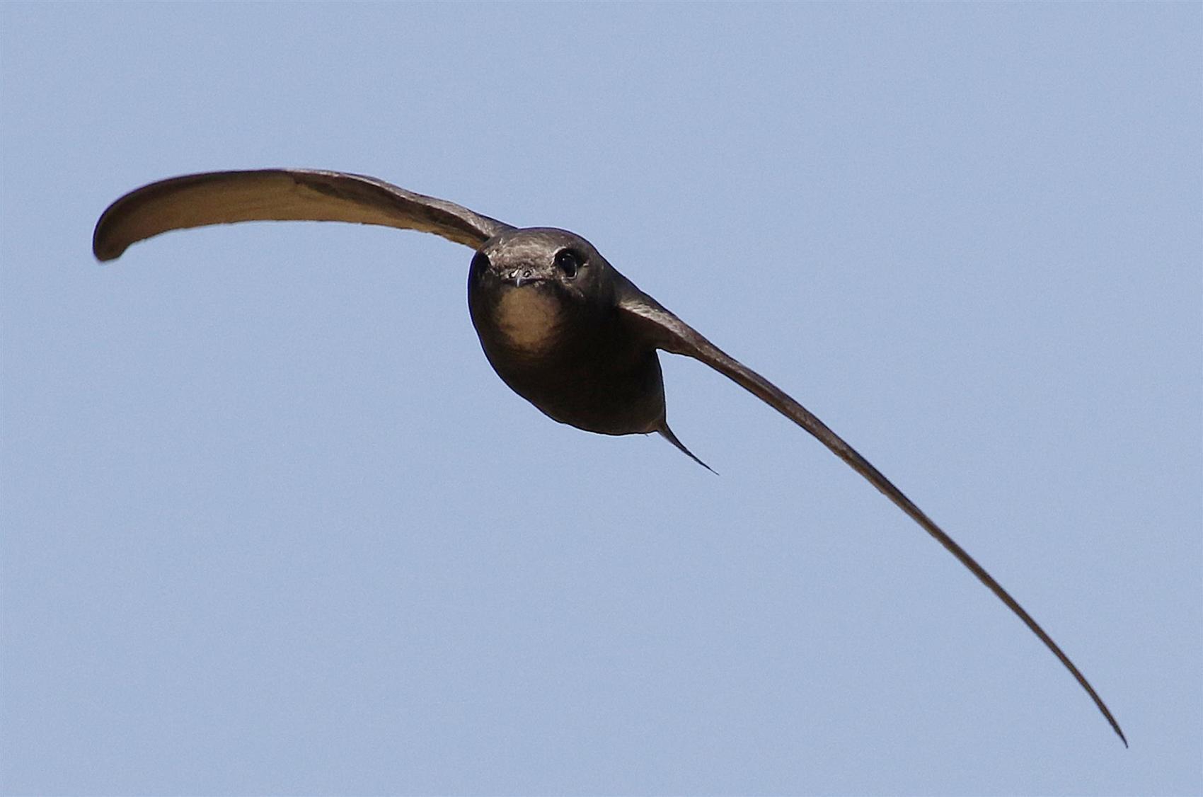Phoenicopterus chilensis reproduccion asexual en