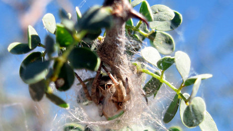 The Lives of Sociable Spiders | Cooperation Theory & Practice | Scoop.it