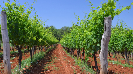 Croatian Istria – New Old World @WSETglobal | Gastronomy & Wines | Scoop.it
