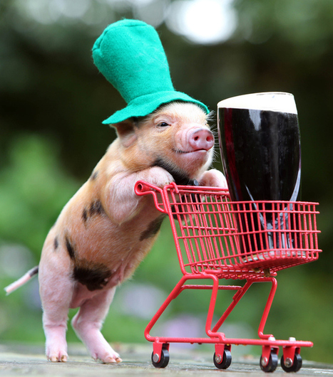 Happy St. Patrick's Day From This Micro Pig Pushing A Guiness Around In A Shopping Cart | Cheeky Marketing | Scoop.it