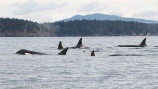 Keep Orca Whales on Endangered Species List ! PLEASE SIGN ... | Corinne | Scoop.it