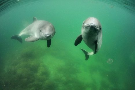 Porpoises plan their dives and can set their heart rate to match | All about water, the oceans, environmental issues | Scoop.it