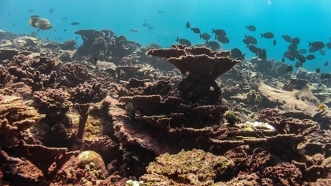 """36 per cent of coral reefs on death watch due to global warming, El Nino (""""we can only watch death"""") 