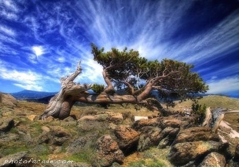 Bristlecone Pines – The Oldest Trees on Earth | Farming, Forests, Water, Fishing and Environment | Scoop.it