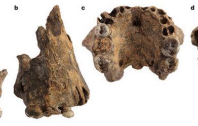 Hallan tres fósiles de una nueva especie de homínido en el este deÁfrica. | Aux origines | Scoop.it