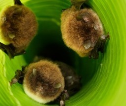 Spix's disk-winged bats use leaves as megaphones to boost the sound of their sonar calls   Amazing Science   Scoop.it