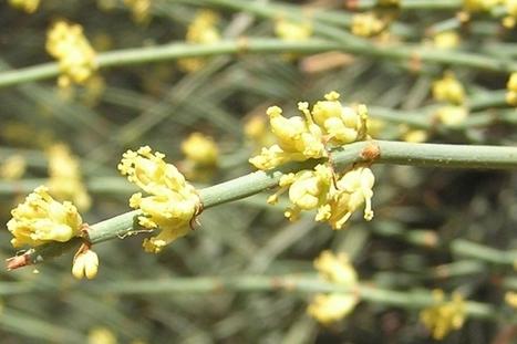 Découverte scientifique - Quand une fleur s'inspire du loup-garou | Réseau Tela Botanica | Scoop.it