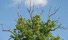 Scientists crowdsource to decode genetic code of ash dieback fungus | 100 Acre Wood | Scoop.it