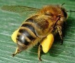 Honeybee problem nearing a 'critical point' | Colony Collapse Disorder | Scoop.it