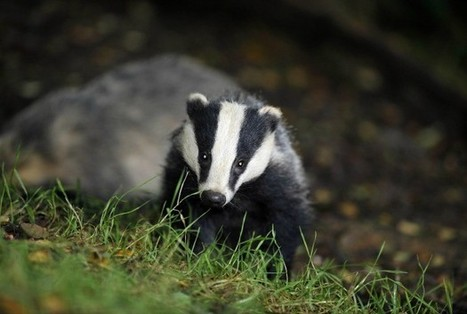Labour promises to abandon badger cull immediately  if wins power   Leading for Nature   Scoop.it