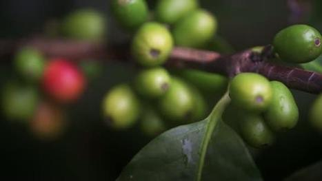 Arabica coffee genome sequenced | Fragments of Science | Scoop.it