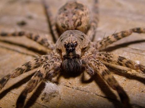 [Vidéo] Pourquoi les mâles de ces araignées pêcheuses ne connaîtront qu'une seule fois l'amour avant de mourir ? | EntomoNews | Scoop.it