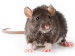 Audio NPR: Empathetic Action: Cagebreak!  Rats Will Work To Free A Trapped Pal   Empathy and Animals   Scoop.it